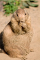Prairie Dog Feeding