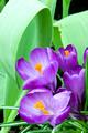 Purple Crocus Blooms in Garden