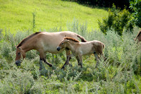 Asian Wild Horses Grazing