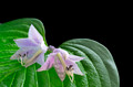 Hosta Leaf and Flowers with Dew