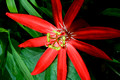 Red Passion Flower in Full Bloom