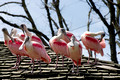 Flock of Spoonbill Birds on Roof
