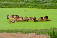 Bactrian Camels in Algae Pond