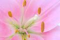 Pink Daylily Closeup