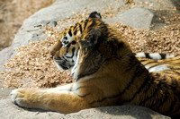 Amur Tiger Laying in Sun