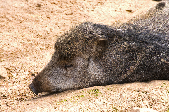 Peccary at Rest