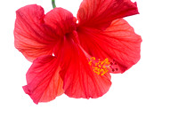Red Hibiscus Flower Against White