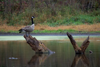 Canada Goose Perch at Dodge
