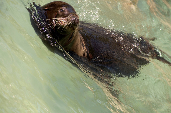 California Sea Lion in Wave