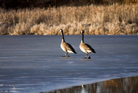 Canada Geese Traversing Frozen Pond