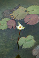 mexican water lily and lily pads