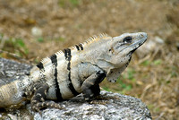 Cozumel Iguana on Rock Ledge