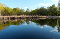 Tree-lined Pond and Reedy Marsh in Spring