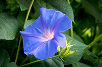 Morning Glory and Bud in Lush Foliage
