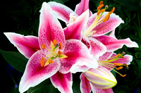 Oriental Lily Closeup in Full Bloom